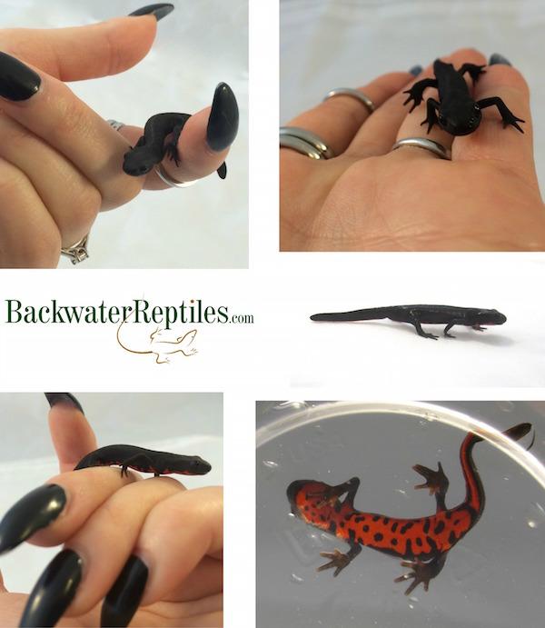 baby newts (amphibians)