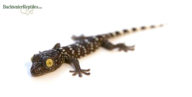 baby tokay gecko