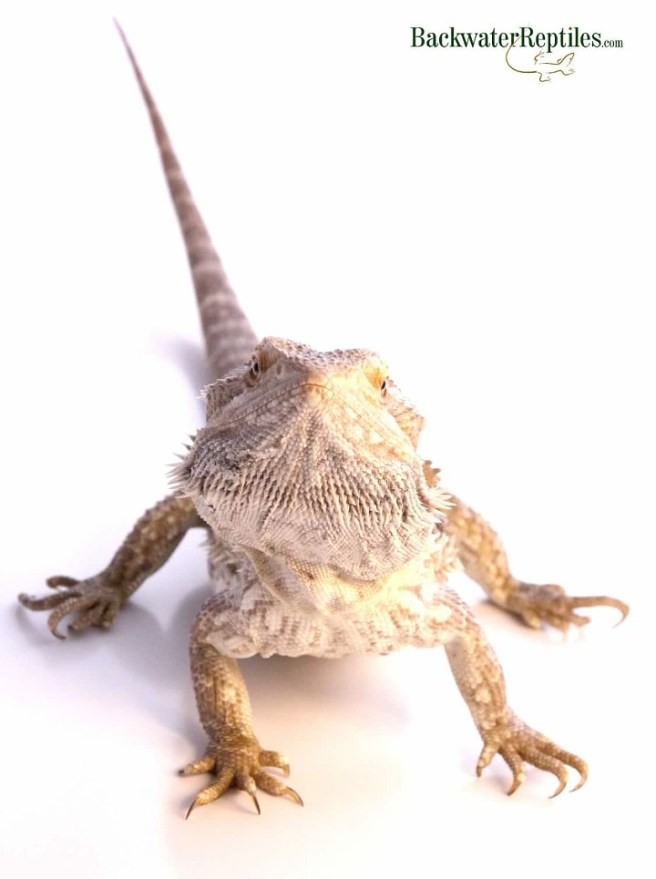 bearded dragon adult
