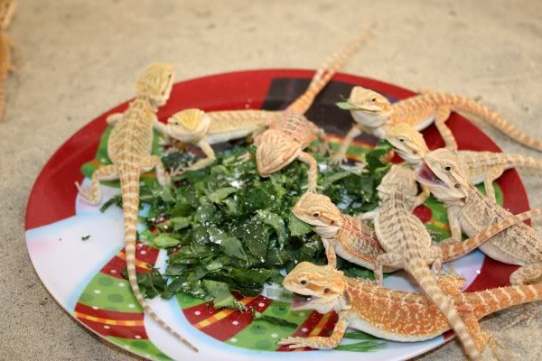 bearded dragons eating