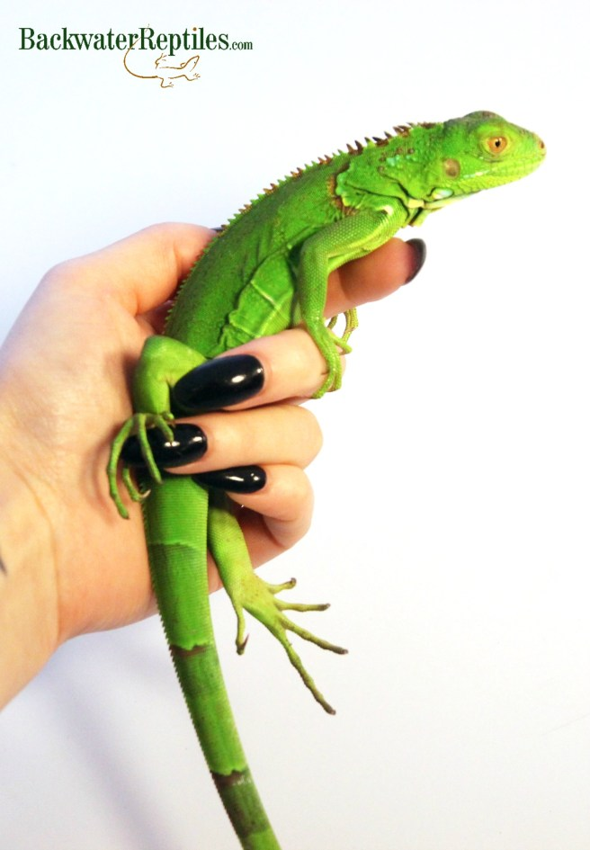 biggest pet lizards