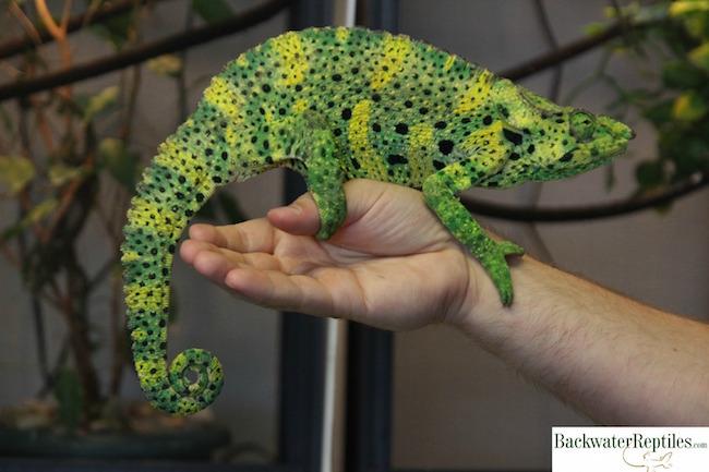 Meller's bird eating chameleon