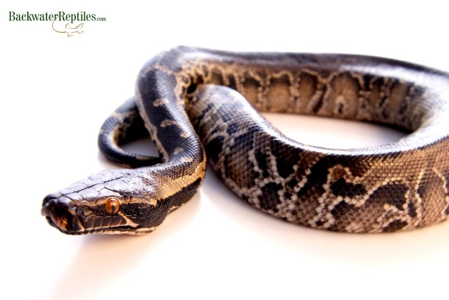 Sumatran short-tail python