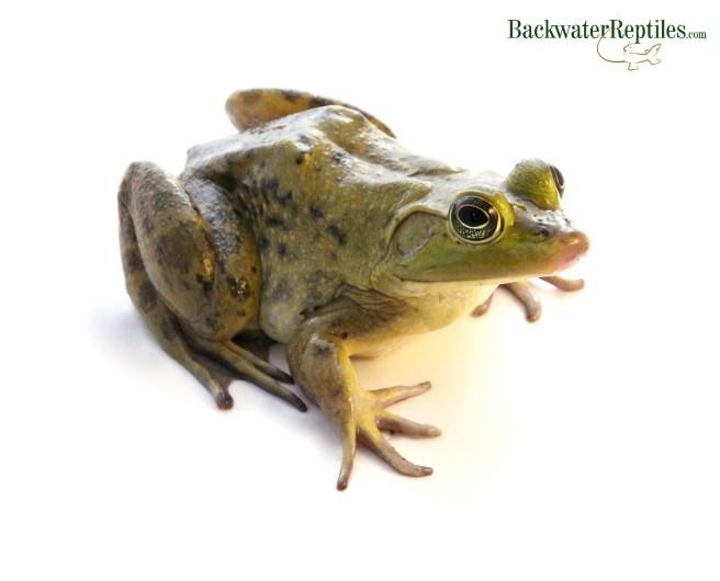 Pet Bullfrog