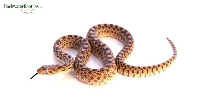Bullsnake Prior to Shed