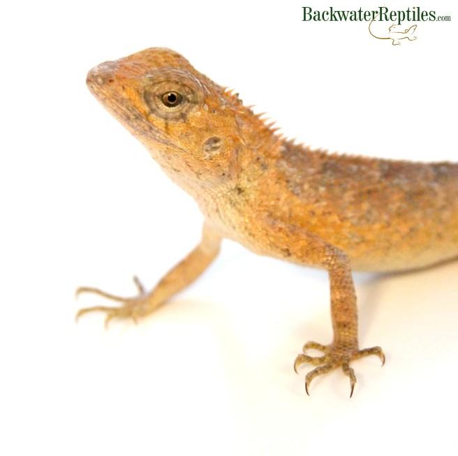 calote lizard