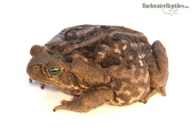 cane toad history