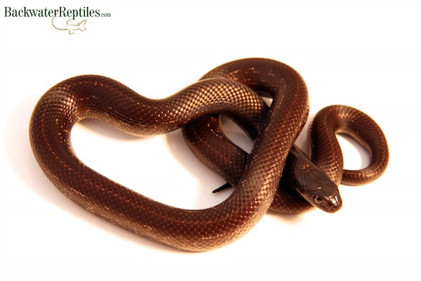 California King Snake Archives Backwater Reptiles Blog - California king snake