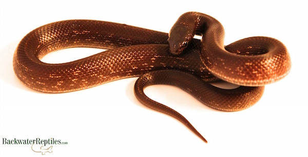 chocolate california kingsnake