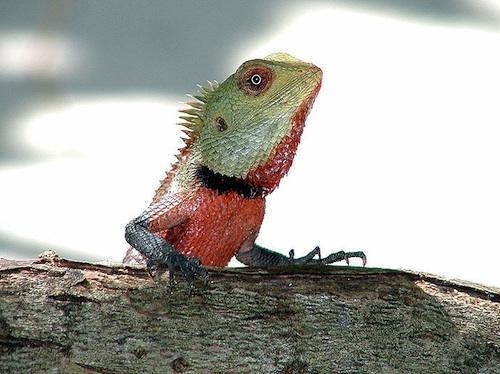 male calote lizard