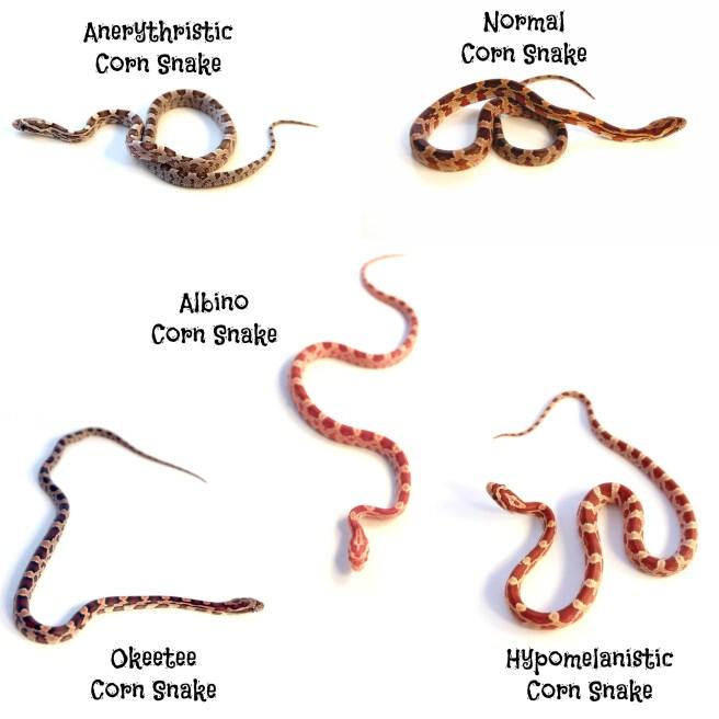 Most popular corn snake morphs