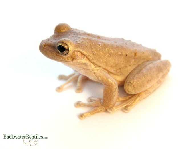 cuban tree frogs are good pets