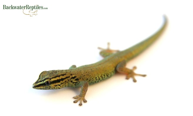 female williams blue cave gecko