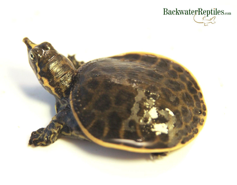 florida softshell turtle vs spiny softshell turtle