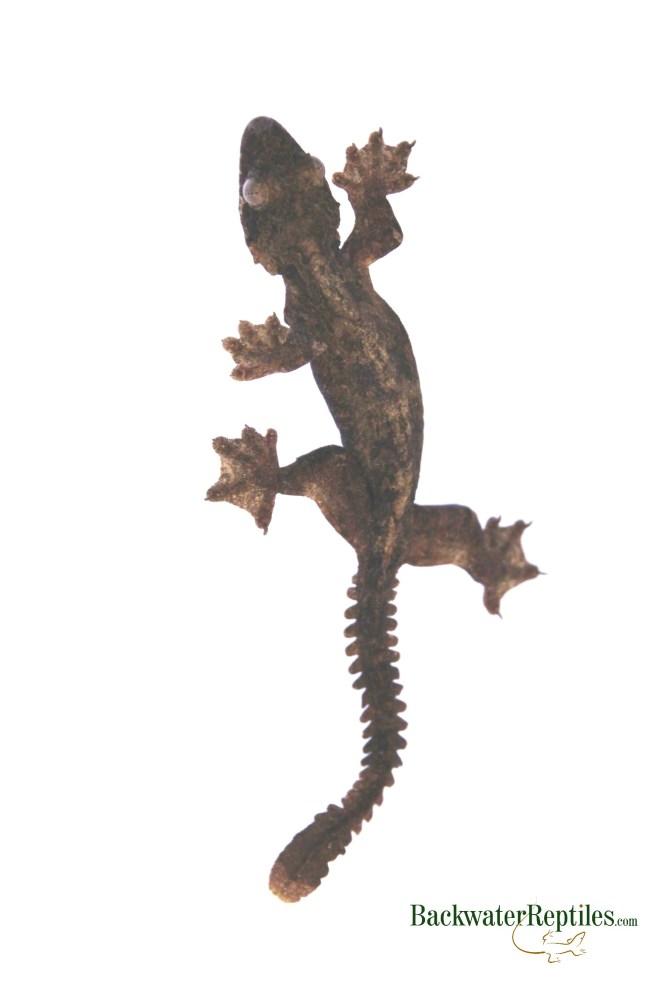 flying gecko care sheet