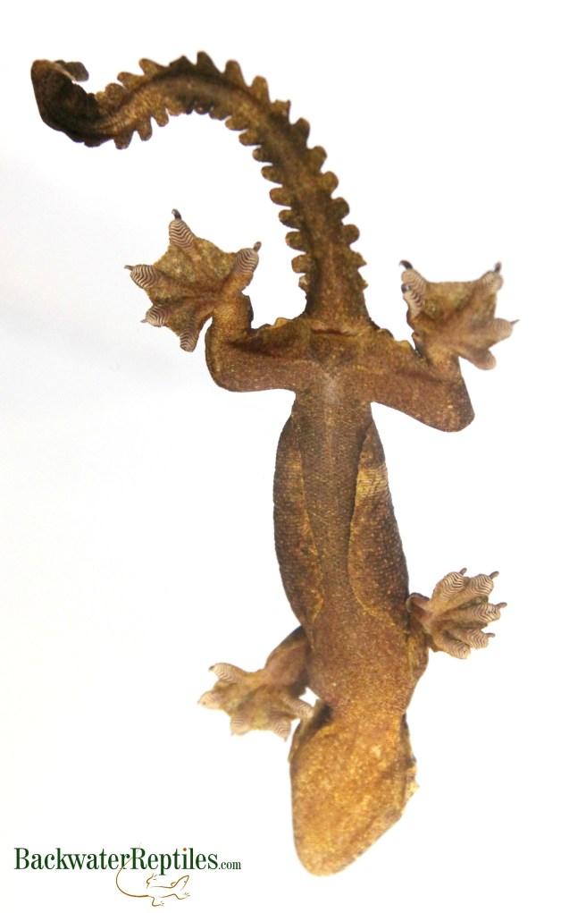 flying gecko underside