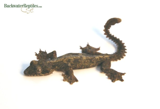 flying gecko adult