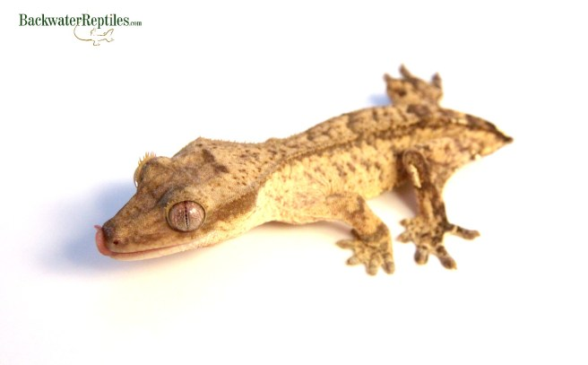frogbutt crested gecko