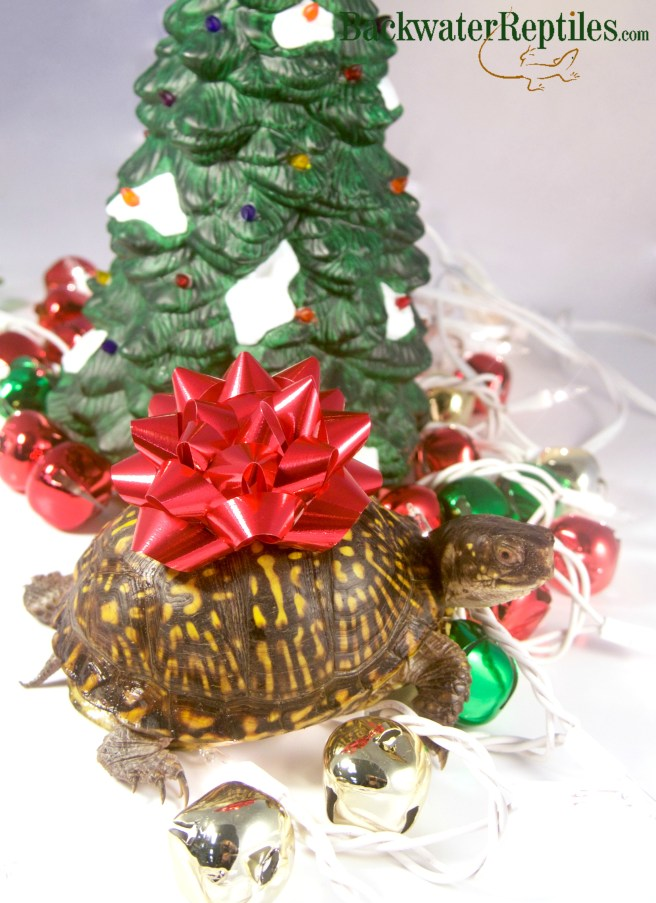 gift wrapping a reptile