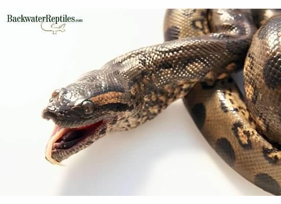 green anaconda eating