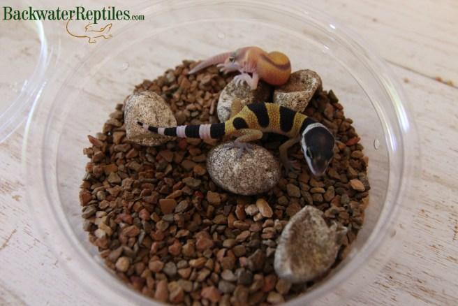 hatching leopard geckos