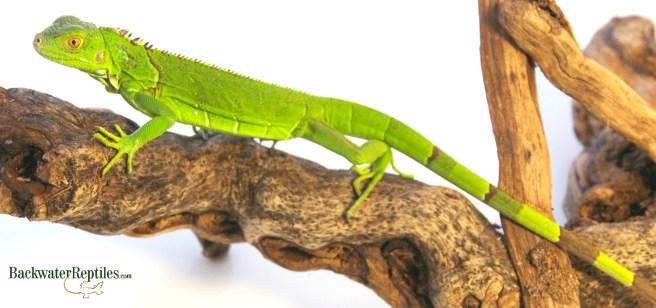 herbivorous pet reptiles