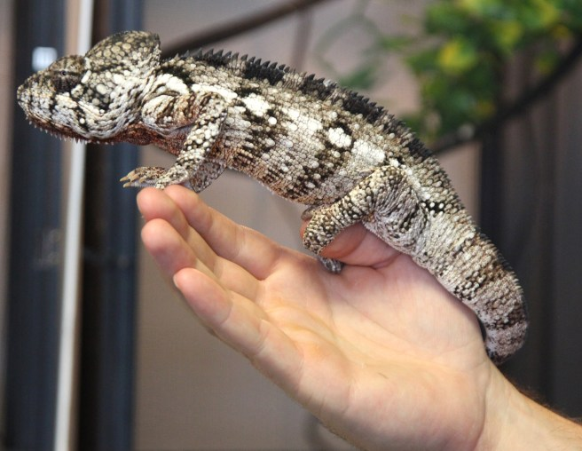 oustalets chameleon
