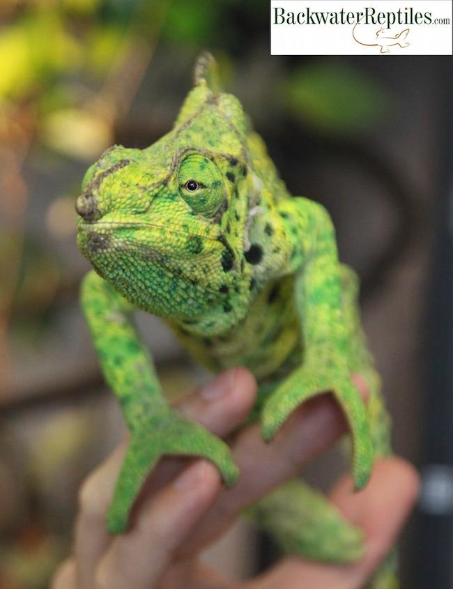 huge mellers chameleon