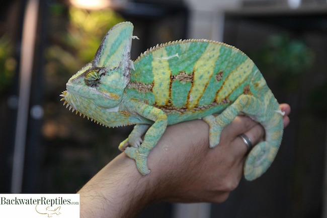 What are the Largest Chameleons