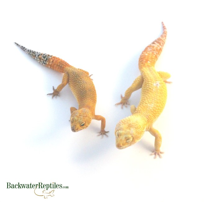 most popular pet desert lizards