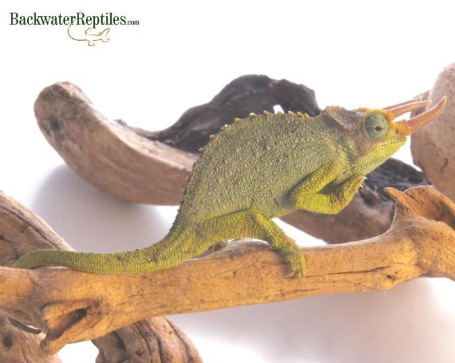 mt meru chameleon male