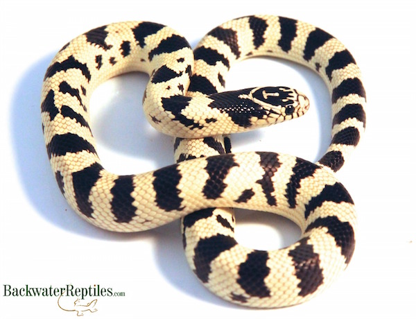 normal california kingsnake - Lampropeltis californiae