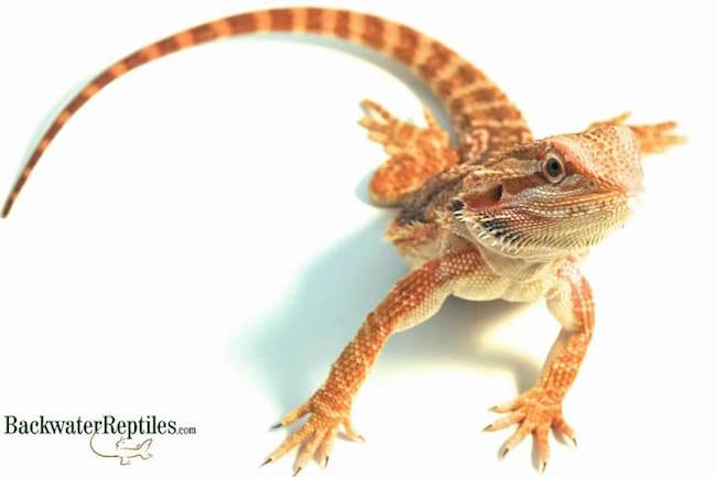 pet bearded dragon