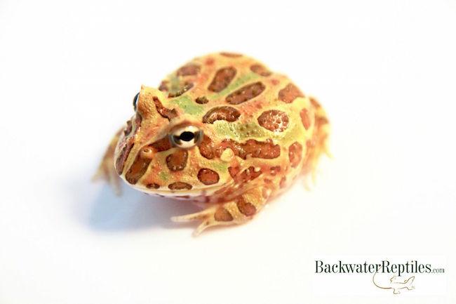 popular frog morphs