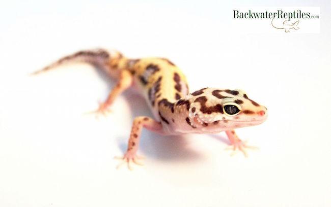 popular leopard gecko morphs