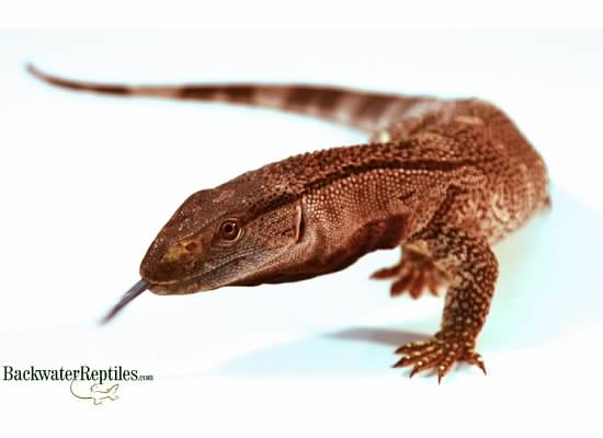 popular pet monitor lizards