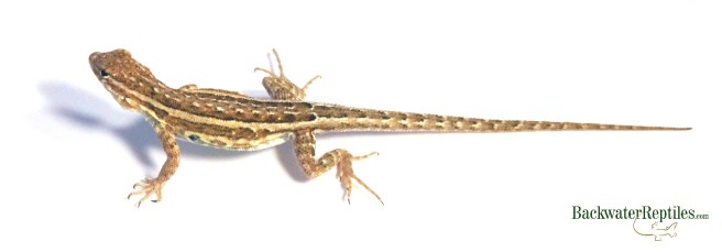 female side blotched lizard