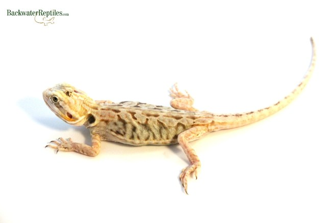 silky bearded dragon