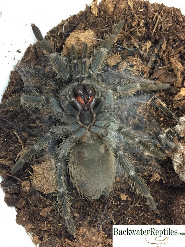 Tarantula preparing to molt