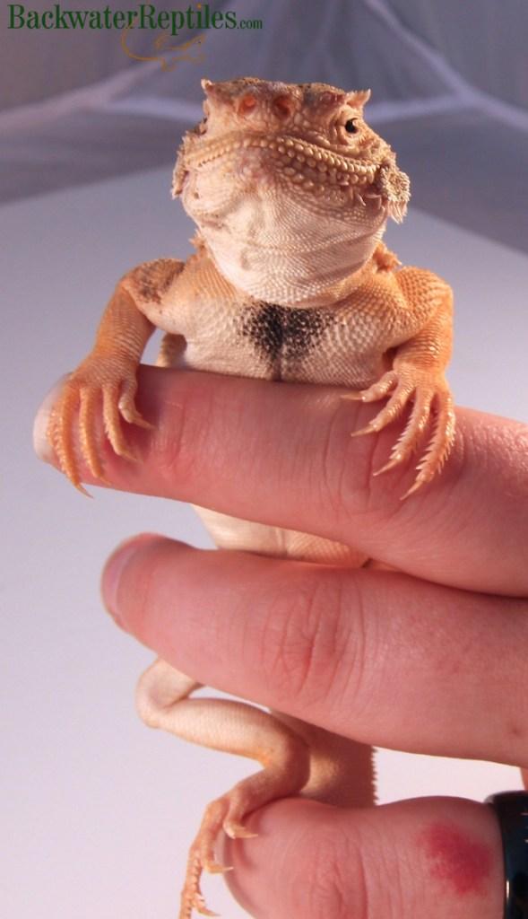 toad head agama male