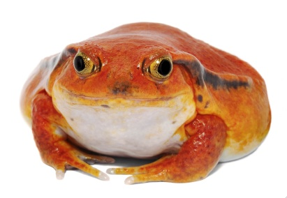 tomato frog facts
