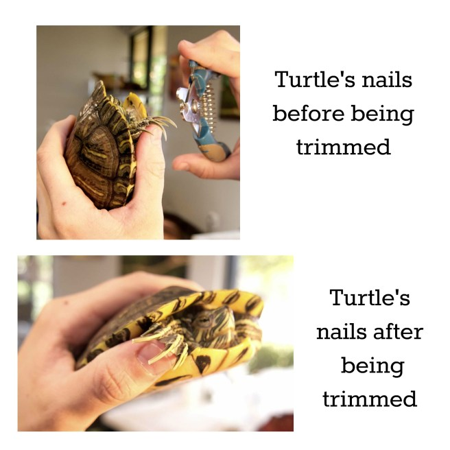 turtle nail trimming