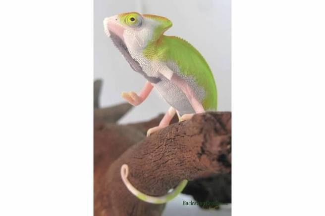 veiled chameleon color change