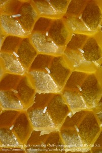 WM Honeybee Eggs