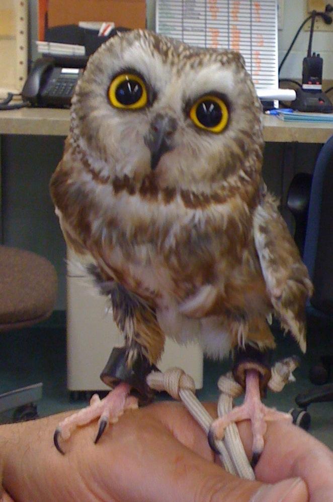 owl anime