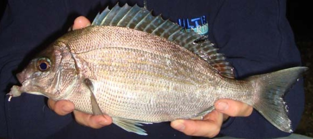 Bream Fish - What Is Bream  How to Catch It? BadAngling