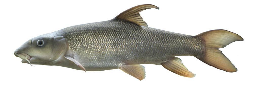 Barbel Fishing Guide - Best Barbel Baits  More BadAngling