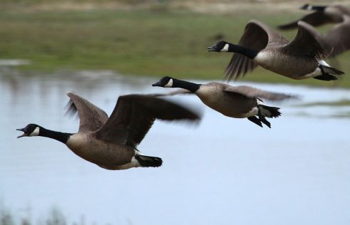 Canada Geese flying over the Atlantic coast, New Jersey, USA.  From Wikimedia Commons.