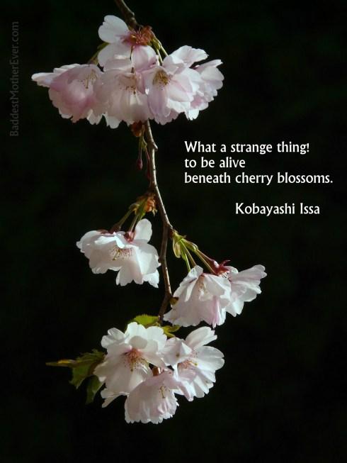 cherry-blossom-6418_1920