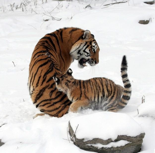 tigers-585984_1280